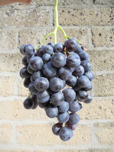 Le nostre uve – PARTE II