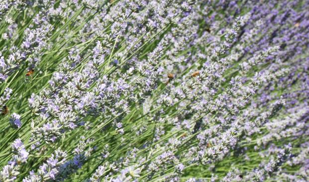 Campi di Lavanda con api impollinatrici