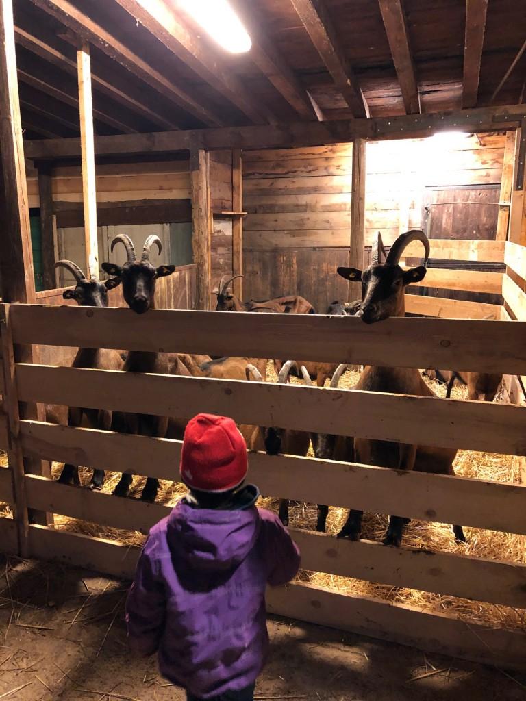 capre in recinto e carlo